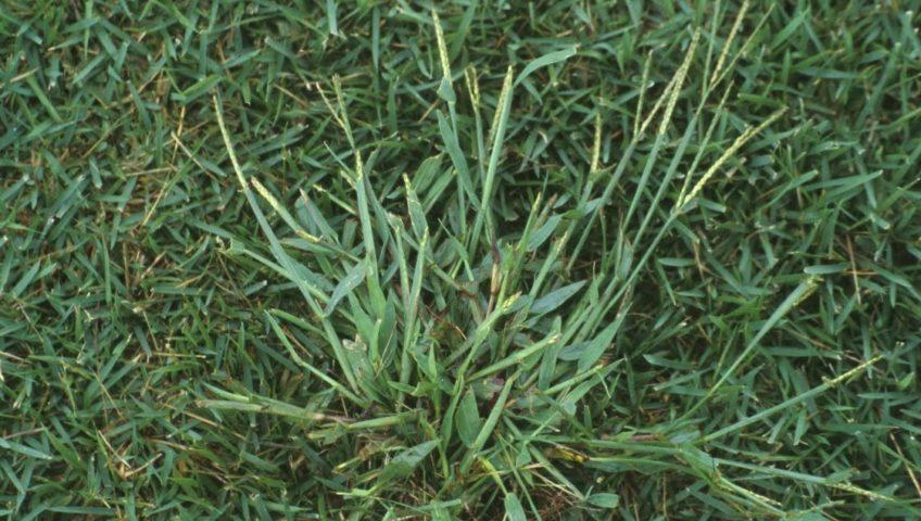 Cómo deshacerse de crabgrass o hierba de cangrejo para siempre